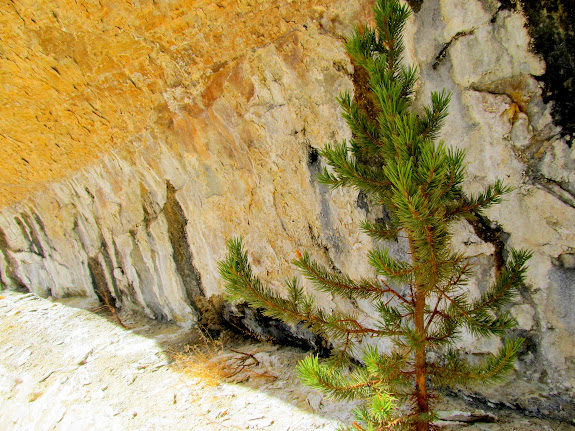 Small pine tree at a seep