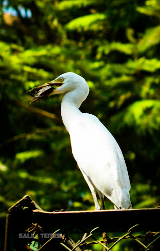 Little Egret in Mumbai