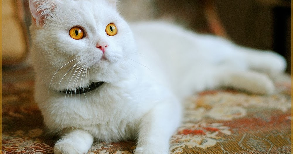 testclod chat blanc yeux jaune orange. Black Bedroom Furniture Sets. Home Design Ideas