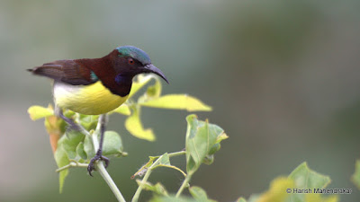 12-Aug-2012 Purple-rumped Sunbird  Pic: Harish Mahendrakar