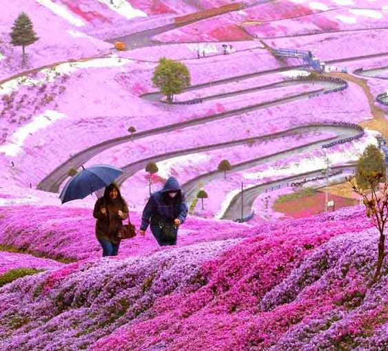 mùa du lịch hoa chi anh