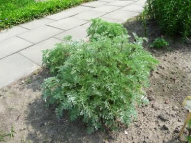 Bylica piołun Artemisia absinthium