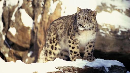 Snow Leopard, Mongolia.jpg