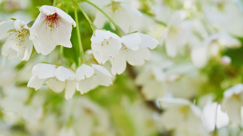 千鳥ヶ淵 桜 写真17