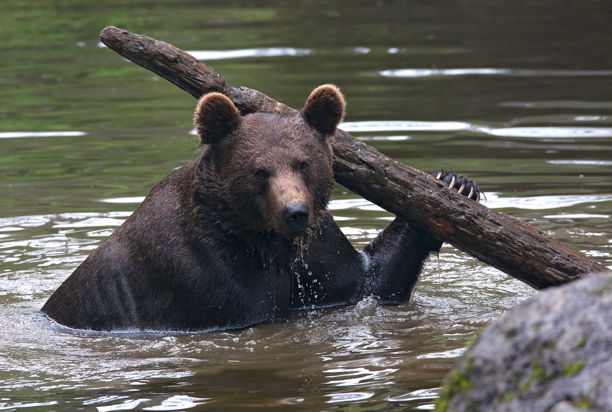 Медведь дровосек