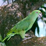 Amazona real / Foto: Xavier Ferrer