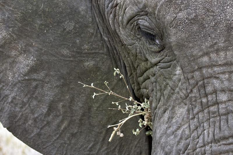 Elephantidae-Loxodonta-africana-knochenhauer