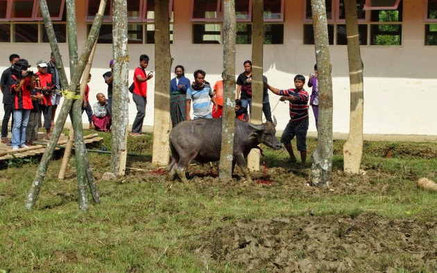 Slaughter of one of the many male buffaloes at a Tana Toraja Funeral Ceremony
