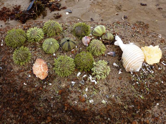 Seashells and sea urchins