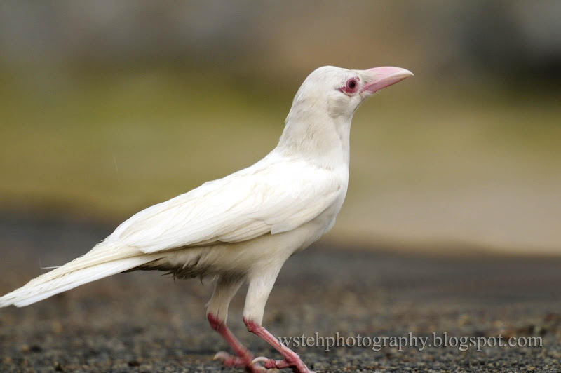Albino crow - photo#19