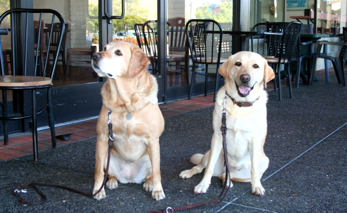 yellow labs cricket and cabana, sitting next to each other on the sidewalk, cricket has her head lifted as she looks at becky who is off camera, cabana is sitting in a sloppy way with an open-mouthed smile on her face