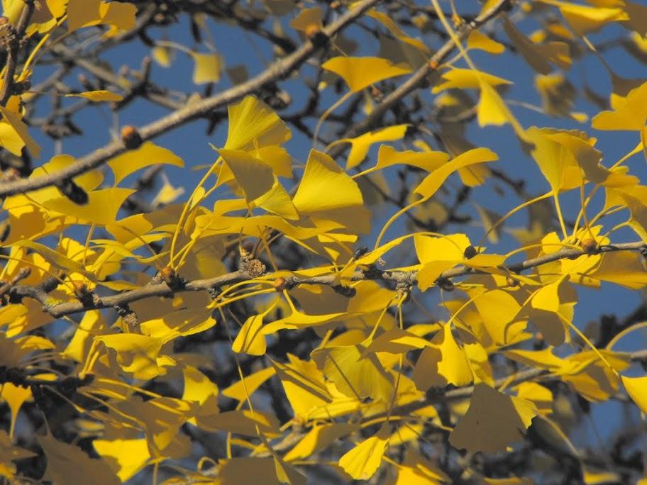 Ginkgo Biloba ősszel