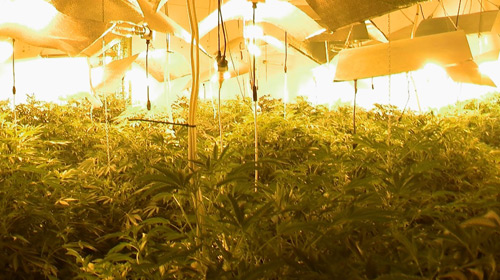 forde weed forest