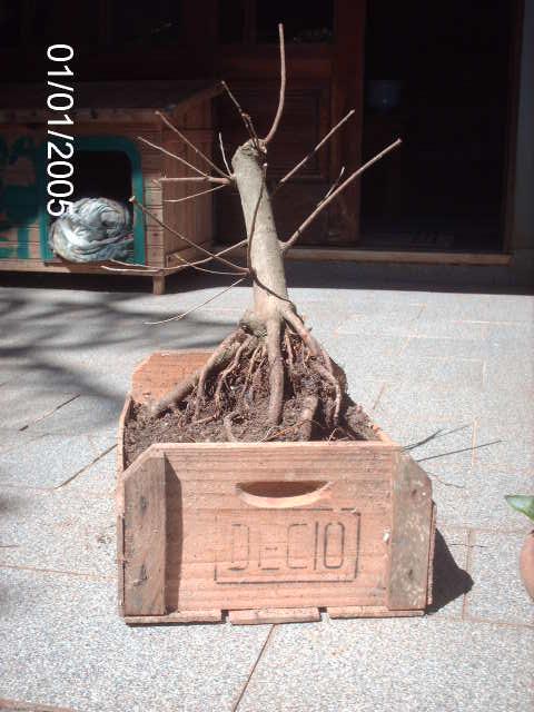 Ficus Microcarpa var. Indica... PICT1615