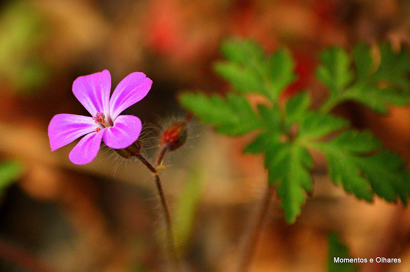Apequena flor