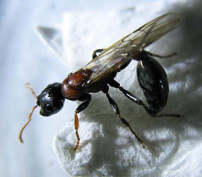 Alate gyne of Tetraponera rufonigra.