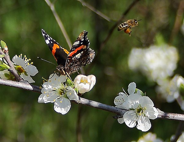 Butterfly and bee buzzing around apple tree flowers