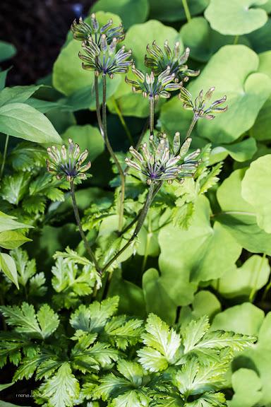 Coptis japonica Dissecta Coptis-japonica-dissecta-130604-51rm