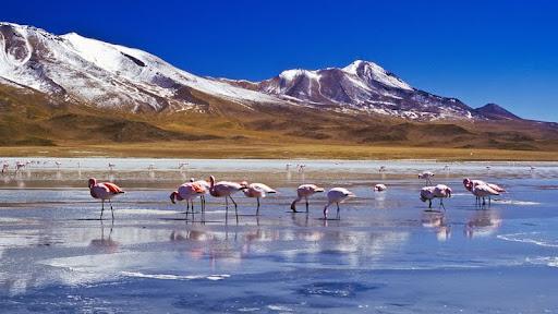 Flamingoes, Laguna Hedionda, Bolivia.jpg
