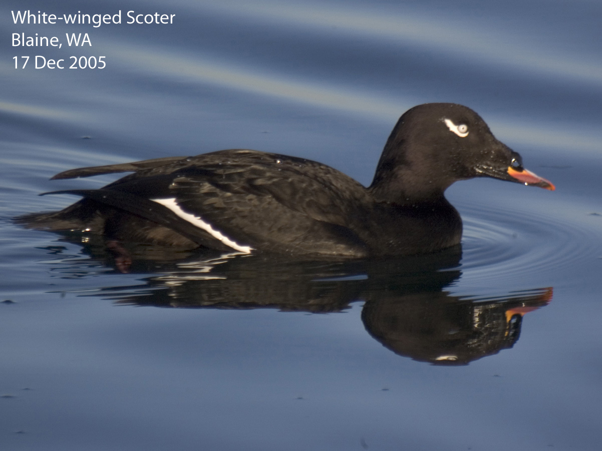Identificación de aves negras - Cornell Laboratorio de ornitología: BirdSleuth K-12: Cornell Laboratorio de ornitología: BirdSleuth K-12