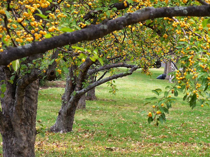 Autumn trees in Boston (Mass.). Photo by Anna Clutterbuck-Cook, 13 Oct 2014.