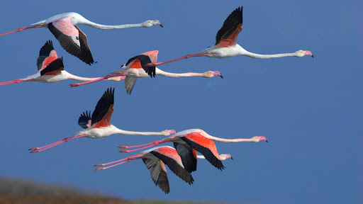 Greater Flamingos, Sardinia, Italy.jpg