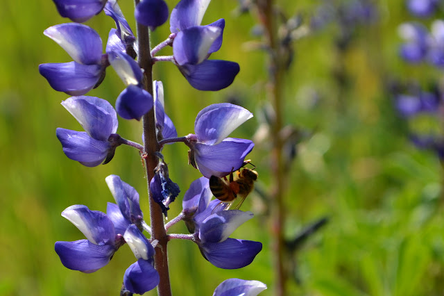 bee on lupine