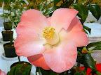 鮮桃色 底白 一重 ラッパ咲き 中輪