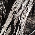 Bark on melaleuca (102586)