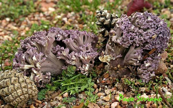 Ramaria fennica v. cedrotorum