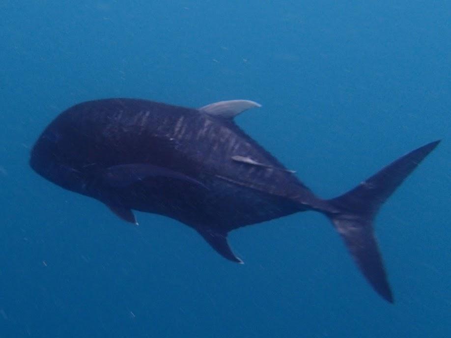Caranx Ignobilis (Giant Trevall), Miniloc Island Resort reef, Palawan, Philippines.