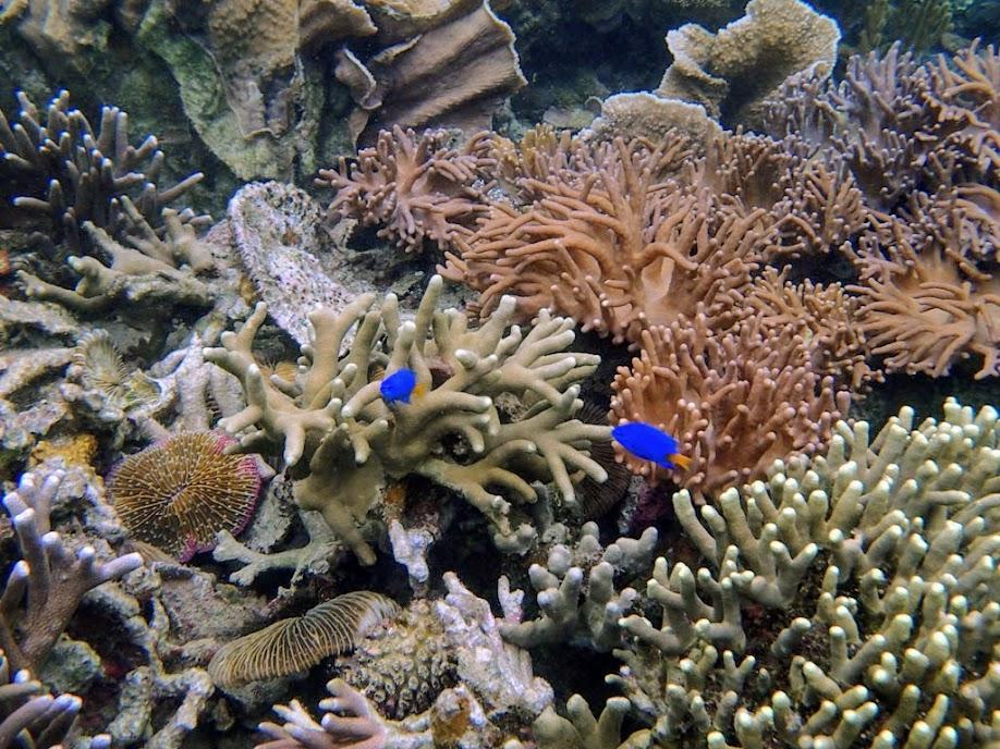 Chrysiptera parasema (Yellow-tail Blue Damselfish), Sand Island, Palawan, Philippines.