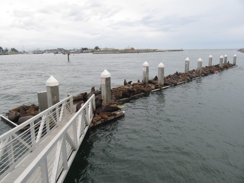 Pier covered with sea lions