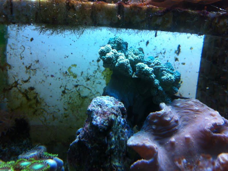 Capnella imbricata (Green Kenya Tree Coral) IMG_0675
