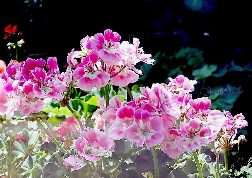 flori roz gradina botanica mai 2013
