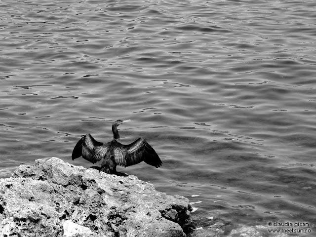 cormoran la tarmul Marii Negre