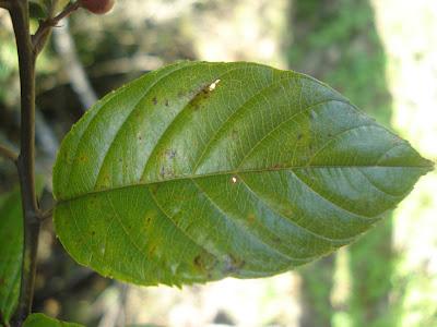 Rhamnus sphaerosperma http://sites.google.com/site/florasbs/home  São Bento do Sul - Santa Catarina