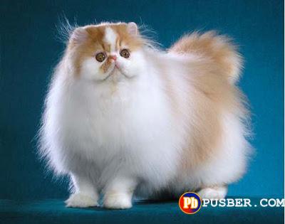 Cara Merawat Kucing Persia Yang Baik