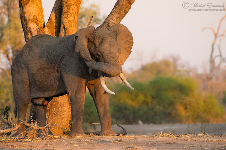 elephant_scratch_1_ManaPools_2012.jpg