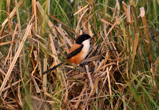 ", bird ""long tailed shrik"". pix:- Chandrabhanu Bijali, startachim blog, startachim blog"