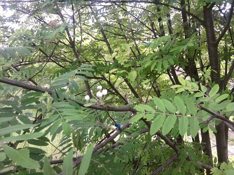 Сад-огород: Приусадебный участок: прививка деревьев (груша на рябине)
