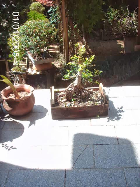 Ficus Microcarpa var. Indica... PICT2533
