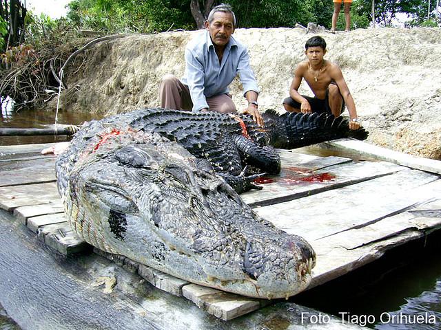 Questões e Fatos sobre Crocodilianos gigantes: Transferência de debate da comunidade Conflitos Selvagens.  - Página 3 3570571402_6816a5f8f1_z