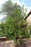 """Ein """"Apple-Cherry-Tree"""", an dem beides wächst - naja, eher zwei Bäume, die zusammengewachsen sind..."""