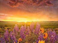 Campo de Flores de Girasoles y Lavanda