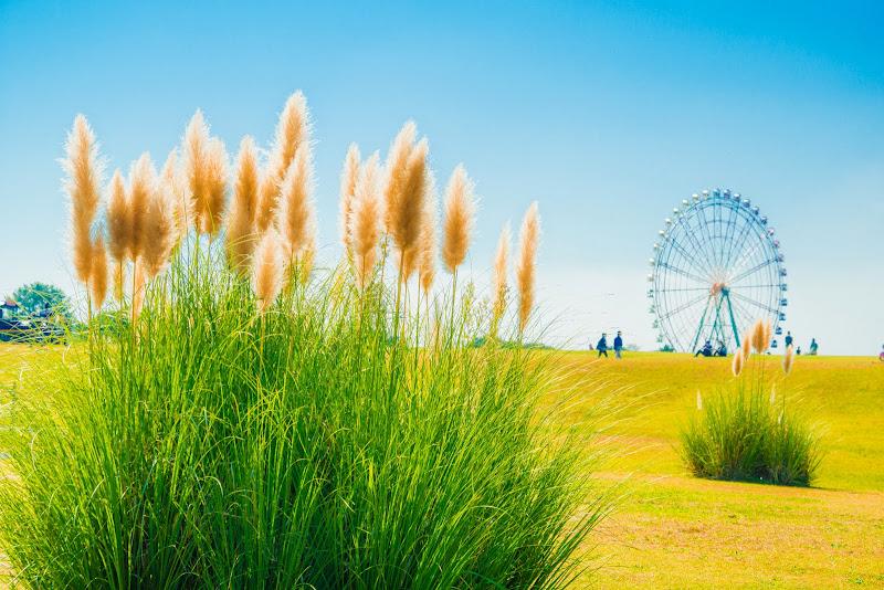 ひたち海浜公園 パンパスグラス 写真1