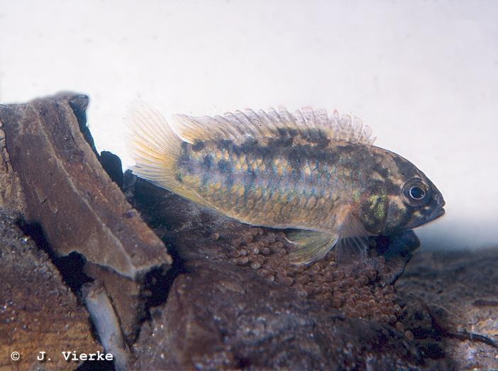aureocephalus-Mutter am Gelege