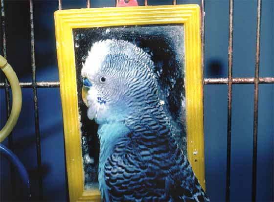 Budgerigar that has become infatuated with its image in a mirror