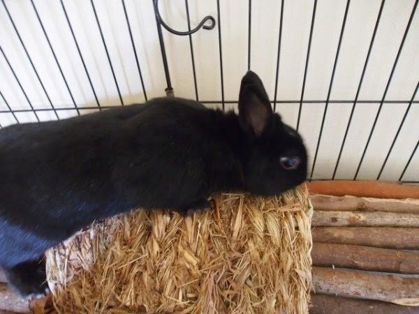 Prince, petit lapin noir-[adopté] Prince1-63994