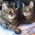 Suzie N Swizzle Tabby Cats